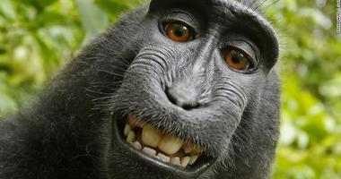 Naruto, a crested macaque in Indonesia