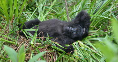 In this 2016 photo, a young mountain gorilla named Fasha lies in the grass in Rwanda's Volcanoes National Park.