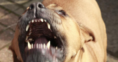 angry pitbull