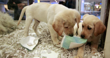 In this Monday, Oct. 4, 2010 file photo, window shoppers look at a pair of Labrador puppies for sale at the Westside Pavilion Shopping Center in Los Angeles.