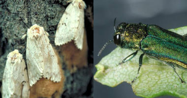 invasive insects