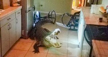 Alligator breaks in.