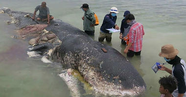 Dead whale in Indonesia had swallowed 1,000 pieces of plastic