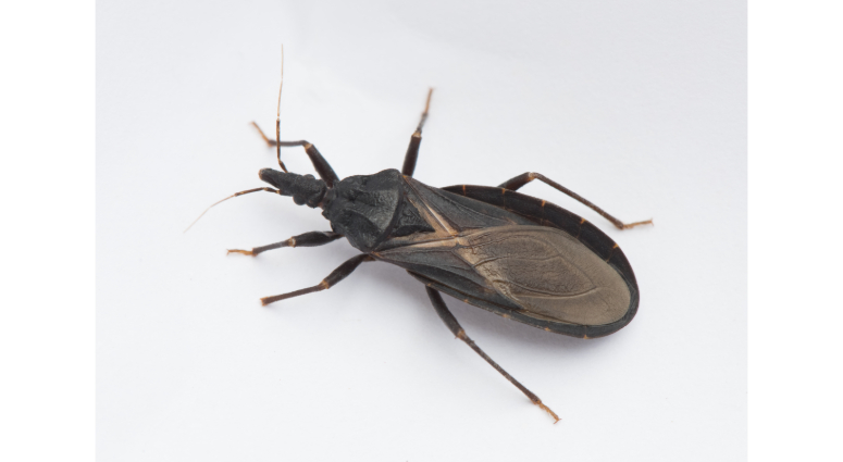 cdc blood sucking 39 kissing bug 39 confirmed in delaware pennsylvania may be next kyw. Black Bedroom Furniture Sets. Home Design Ideas