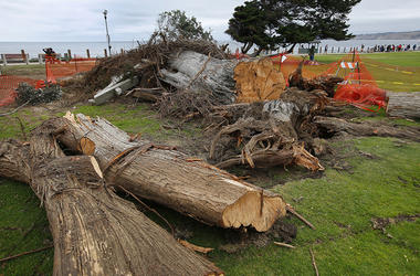 """Monterey cypress tree that toppled in Ellen Browning Scripps Park last week in La Jolla, Calif. According to local legend, the tree inspired the """"The Lorax"""" by Theodor """"Dr. Seuss"""" Geisel"""