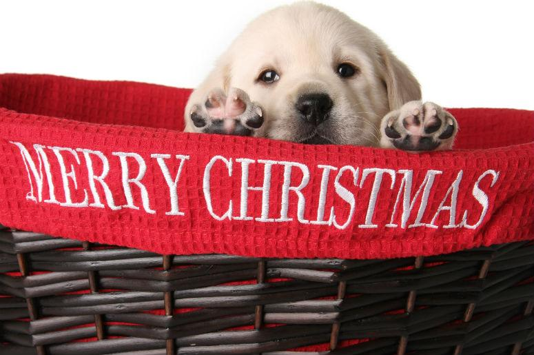 A Puppy For Christmas.Watch Compilation Video Surprise It S A Christmas Puppy