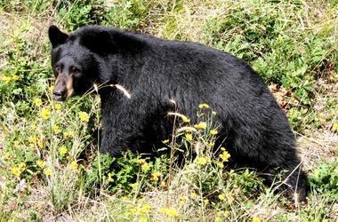Black bear walking in a meadow