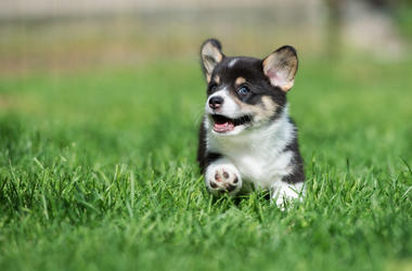 Adorable corgi puppy running outdoors. Grass, happy. (Photo credit: Onetouchspark/Dreamstime)