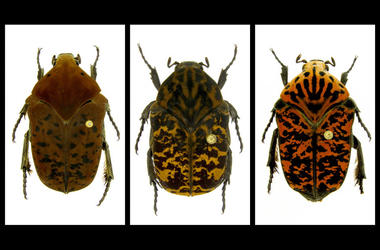Gymnetis drogoni, Gymnetis rhaegali and Gymnetis viserioni beetles from South America.