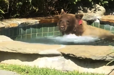 This Friday, June 29, 2018, image made from video released by Mark Hough shows a bear in a hot tub in Hough's backyard in Altadena, Calif. Hough said he was lounging in his Altadena backyard Friday afternoon when he heard rustling, then saw the bear climb