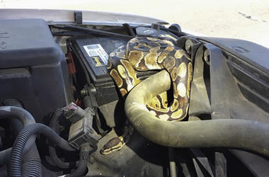 This Wednesday, Aug. 22, 2018, photo provided by the Omro Police Department in Omro, Wis., shows a 4-foot-long Ball python that was discovered wrapped around a car engine. It took hours to unwind and coax the snake from the engine compartment. Police say