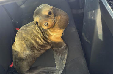 In this photo provided by the California Highway Patrol, a baby seal lion sits in the back of a patrol car after being rescued along Highway 101 in South San Francisco, California. (California Highway Patrol via AP)
