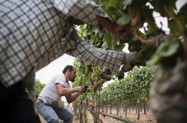 """In this Aug. 23, 2017, courtesy of Quiet Pictures, Rene Reyes Ornelas, a 41 year-old Mexican farmworker, works picking grapes during his second harvest in Sonoma, California. (Roberto """"Bear"""" Guerra/Quiet Pictures via AP)"""