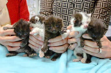 This May, 2019 photo from the San Diego Humane Society shows five kittens that had that stowed away on a 400-mile trip to San Diego being cared for at the organization's San Diego office. (San Diego Humane Society via AP)