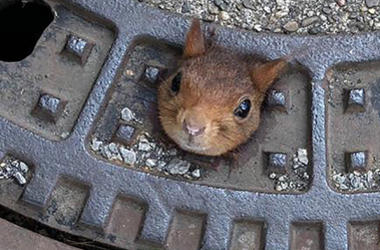 In this Thursday, June 20, 2019 photo provided by the fire department a squirrel is stucked in a gully cover in Dortmund, Germany. (Feuerwehr Dortmund/dpa via AP)