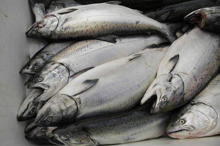 In this photo taken Monday, July 22, 2019, chinook salmon is seen after being unloaded at Fisherman's Wharf in San Francisco. (AP Photo/Eric Risberg)