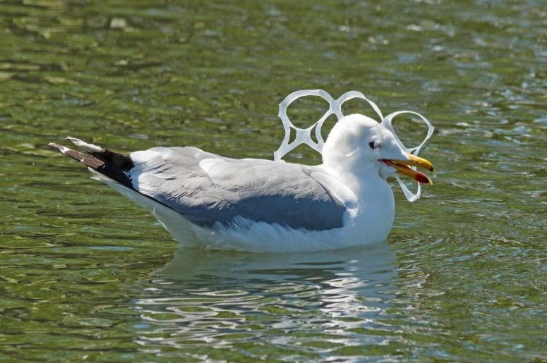 Seagull Caught In Plastic