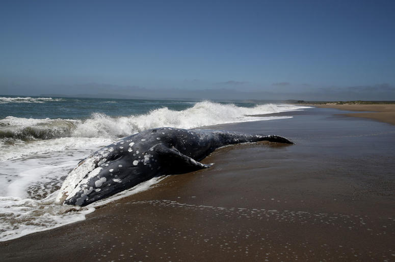 A dead Gray Whale sits on the beach at Limantour Beach on May 23, 2019 in Point Reyes Station, California. A thirteenth Gray Whale washed up dead on a San Francisco Bay Area beach as scientists try to figure what is killing the whales