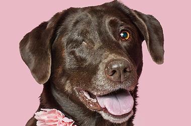 Labrador_Rescue