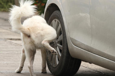 Dog Peeing on Car