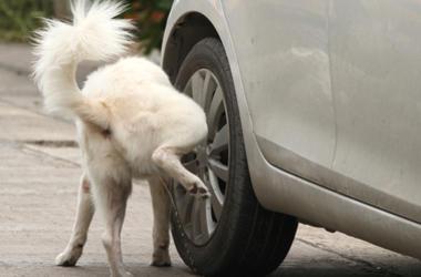 Dog Peeing on Car