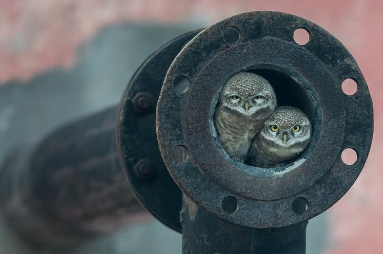 Arshdeep Singh, a keen-eyed 10-year-old photographer, noticed owlets nesting in a pipe in the city of Kapurthala, Punjab, India. Spotted owls like these usually live in tree hollows, but move into urban areas as a result of deforestation.
