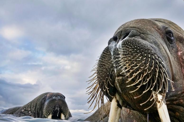 Having spotted walruses from his dinghy off the coastof Svalbard, Norway, photographer Valter Bernardeschi slipped into icy water to photograph them. He captured these young walruses with his camera on a float.