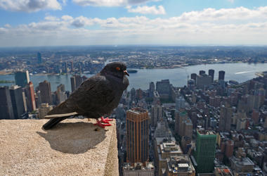 Pigeon in New York