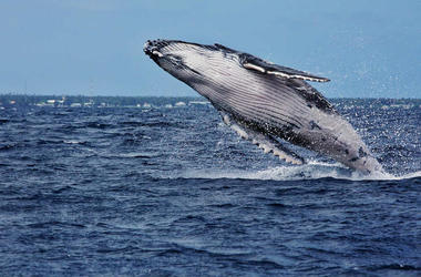 Whale breaking the water