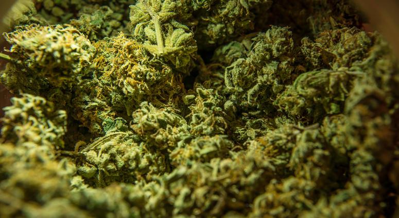 Cannabis marijuana sativa heads in the store.