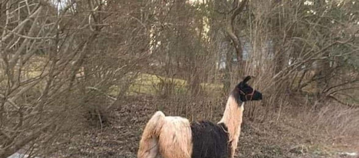 Holland Township Police Searching For Missing Llama | WCBS Newsradio 880