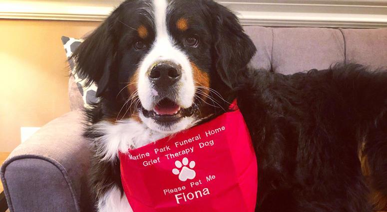 Fiona the Bernese mountain dog
