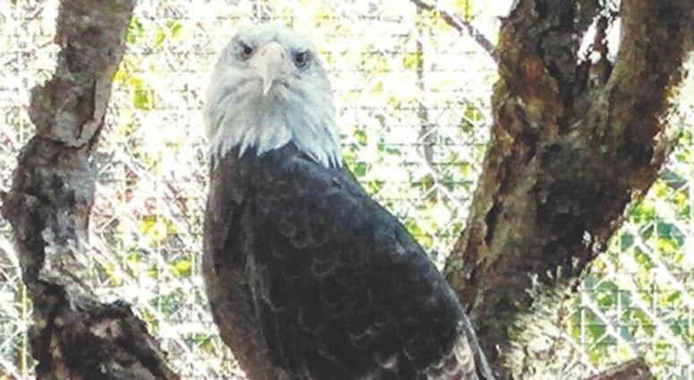 Stolen Bald Eagle
