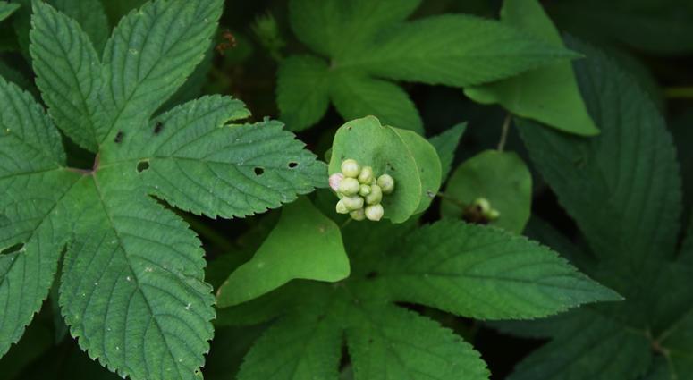 Persicaria perfoliata