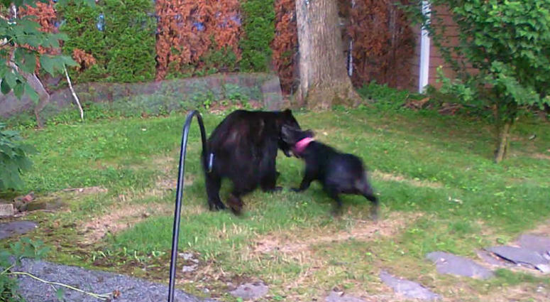 Dog chases away bear