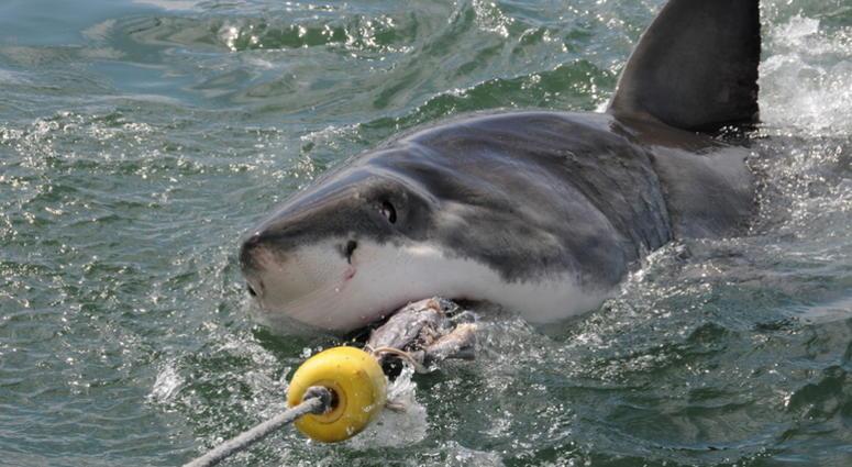 Great white shark taking the bait line