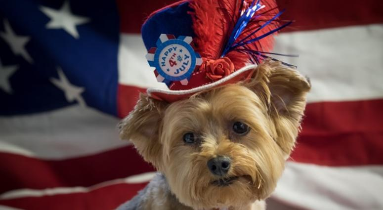 Cute Yorkie Dog wearing patriotic top hat with 4th of July theme with an American flag in the background.