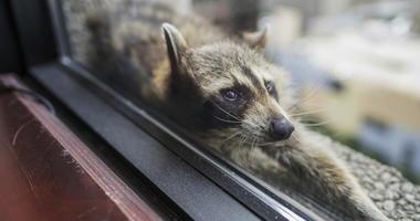 St. Paul Raccoon