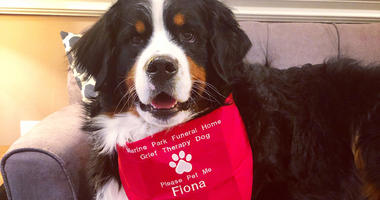 Fiona the Bernese mountain dog
