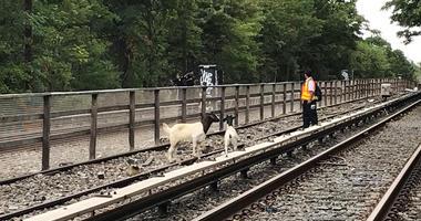 Goats On Subway Tracks In Brooklyn