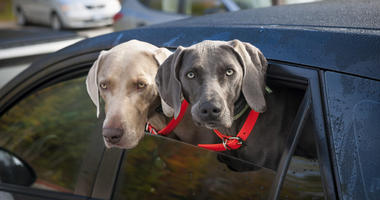 Dogs In Car