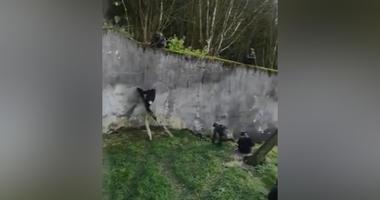 Belfast Zoo chimps