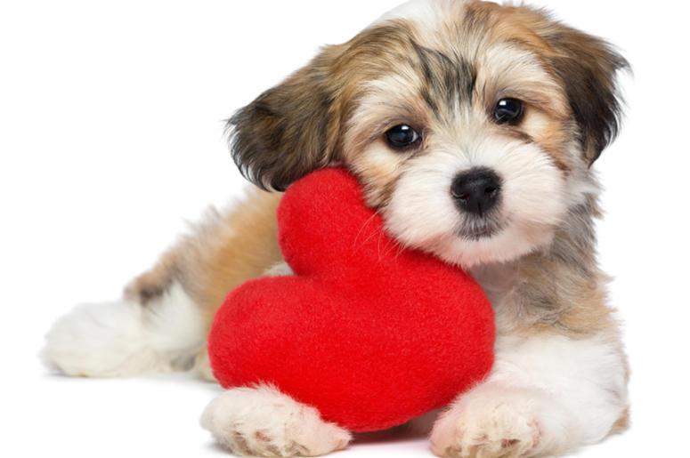 Valentine Havanese puppy