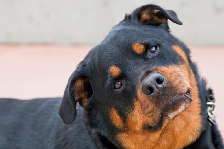 Dog - head tilt