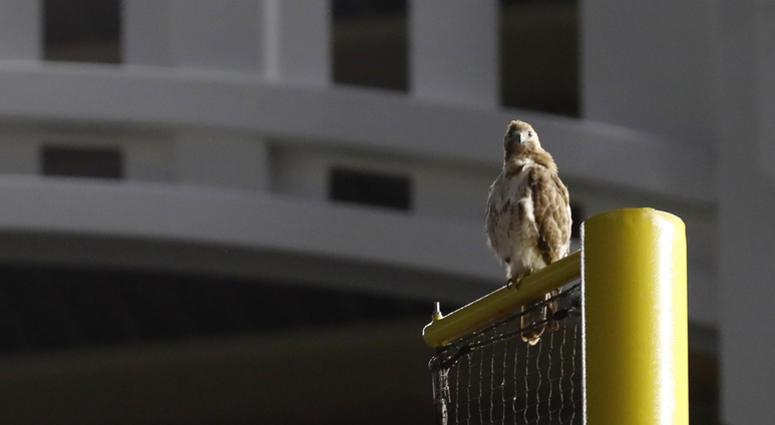 Yankee Stadium Hawk