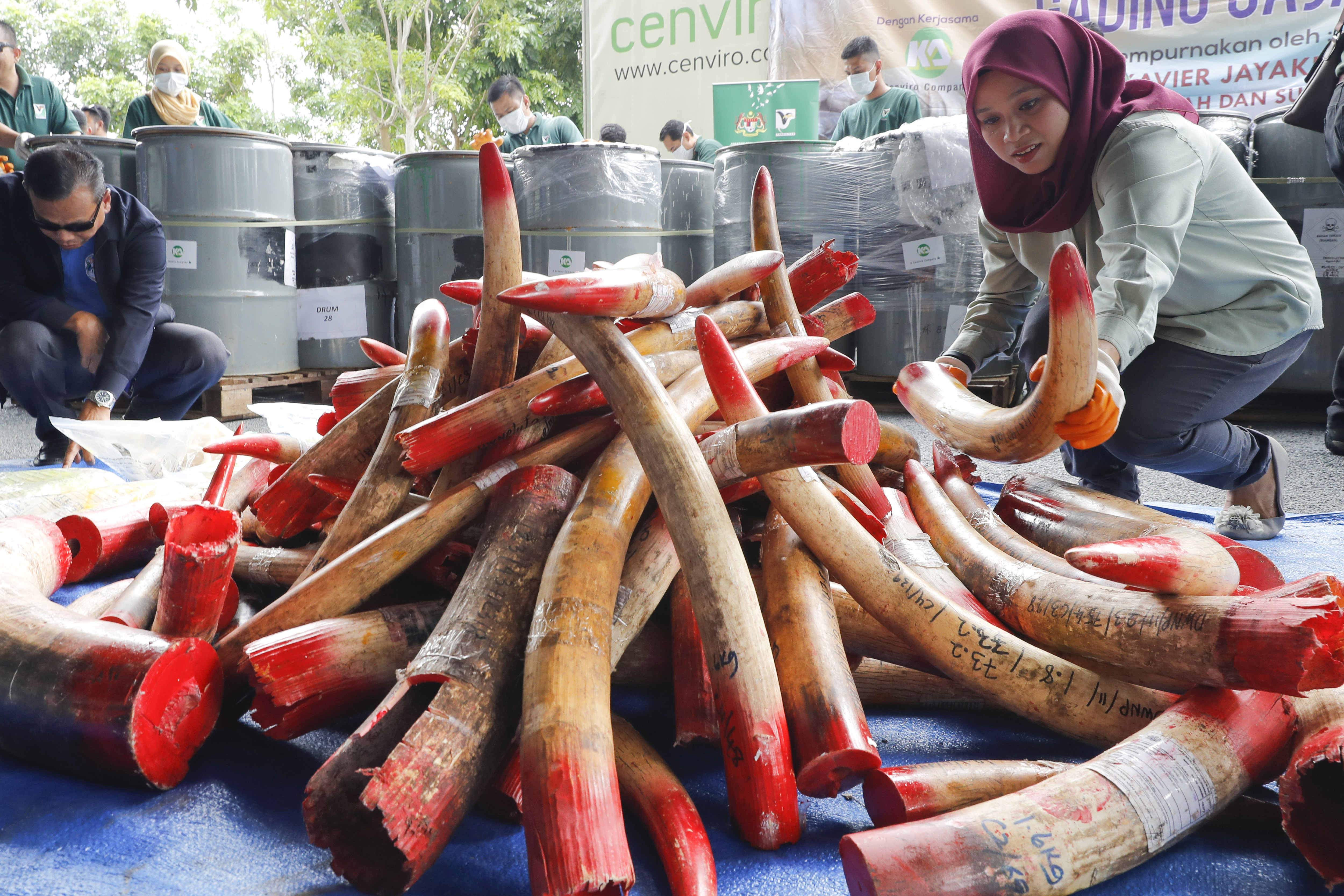 Malaysia destroys 4 tons of ivory tusks, products | WILK-FM