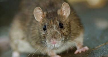 A rat in a city park.