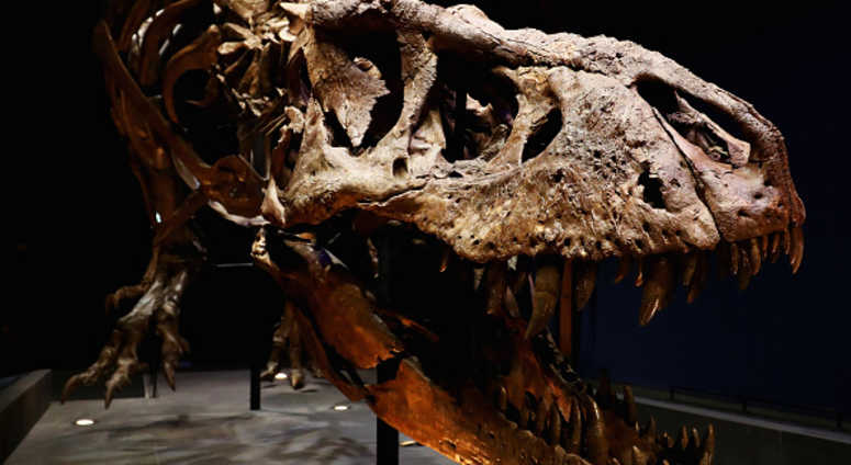 A general view of the skull, jaw, rib cage and teeth of Trix the female T-Rex