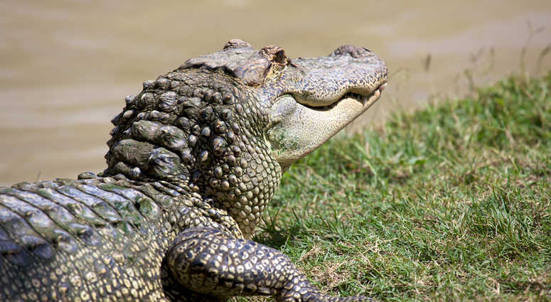 Alligator file image.