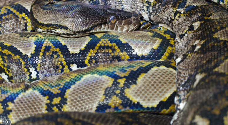 Indonesian Woman Swallowed By 23-ft Python | 1010 WINS
